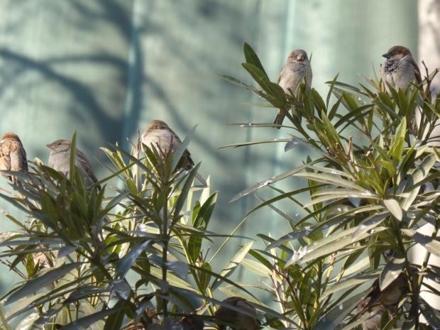 sparrow bush