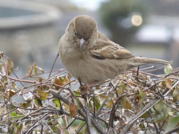 sparrow, sparrows