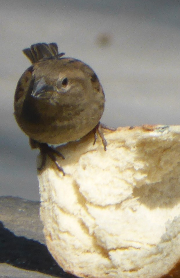 Sparrow with a feast