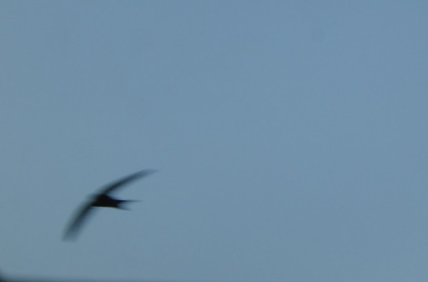 swallow in flight (blurred)
