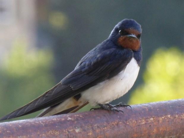 Swallow მერცხალი