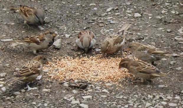 Sparrow feast