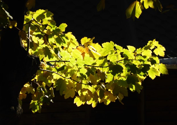 leaves caught in the sunlight