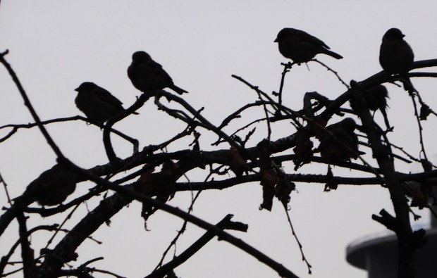 Sparrows on a branch