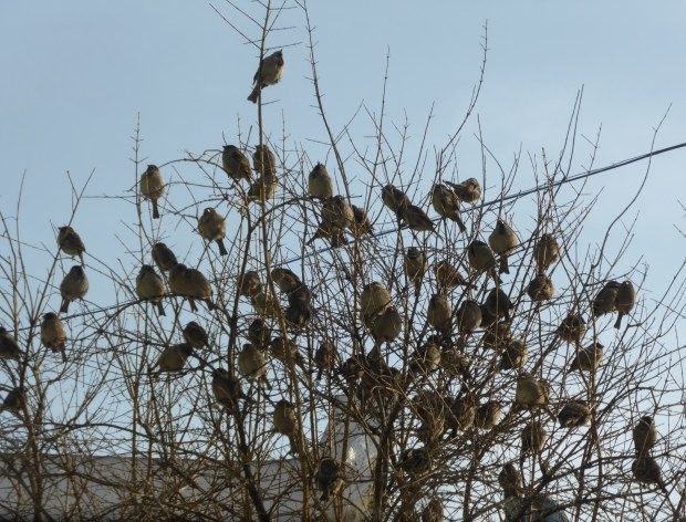 At Sadguris Moedani (Station Square) I heard a twittering above me and saw all these sparrows in a tree,