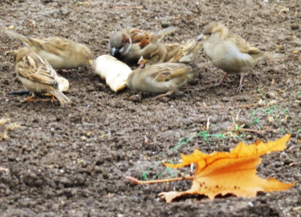 the sparrows get their reward