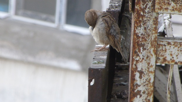 Female House Sparrow preening (Passer domesticus)