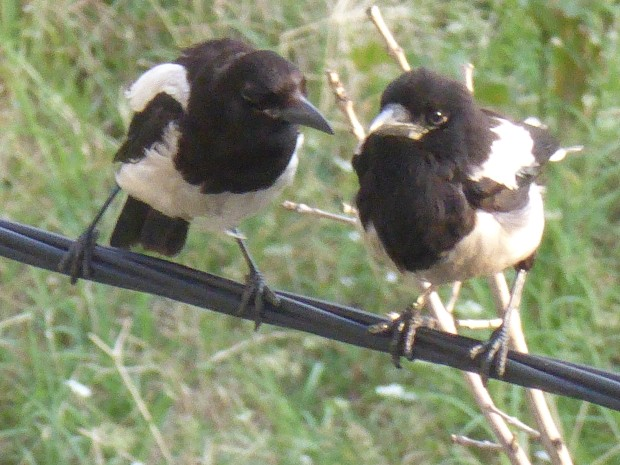One for sorrow, two for joy. Eurasian magpies (pica pica)