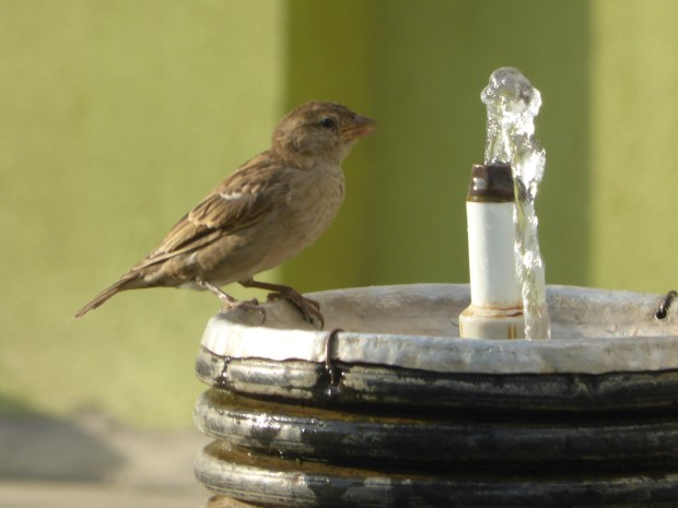 sparrow at the fountain 2